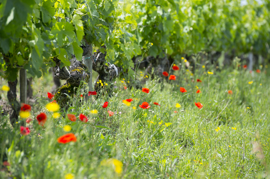 Vignoble bordelais au Printemps