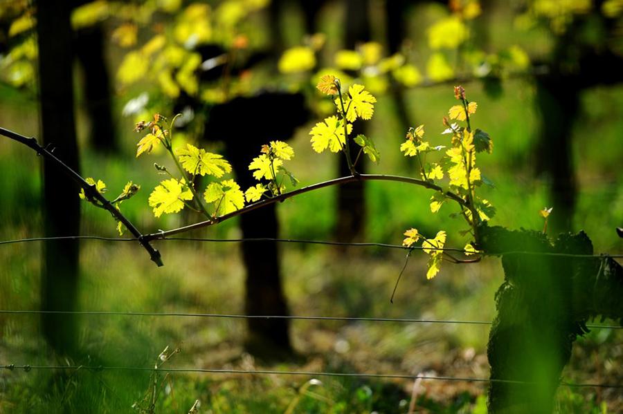 Vignoble bordelais au Printemps